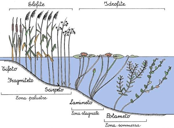 fig. 28. Vegetazione acquatica riparia