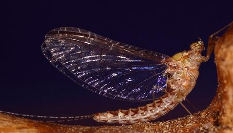fig.15. Un insetto efemerottero (dal grego efemeris = giornaliero). Sono insetti che vivono un brevissimo arco ti tempo.