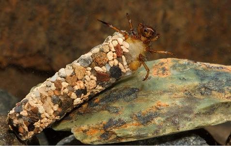fig. 13. Larva di tricottero con il tipico involucro che si costruisce a protezione intorno al corpo