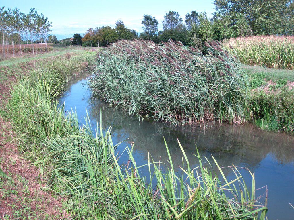 fig. 31. Popolamenti di cannuccia di palude (Phragmitres australis) si rinvengono lungo tutto il corso del Marzenego.