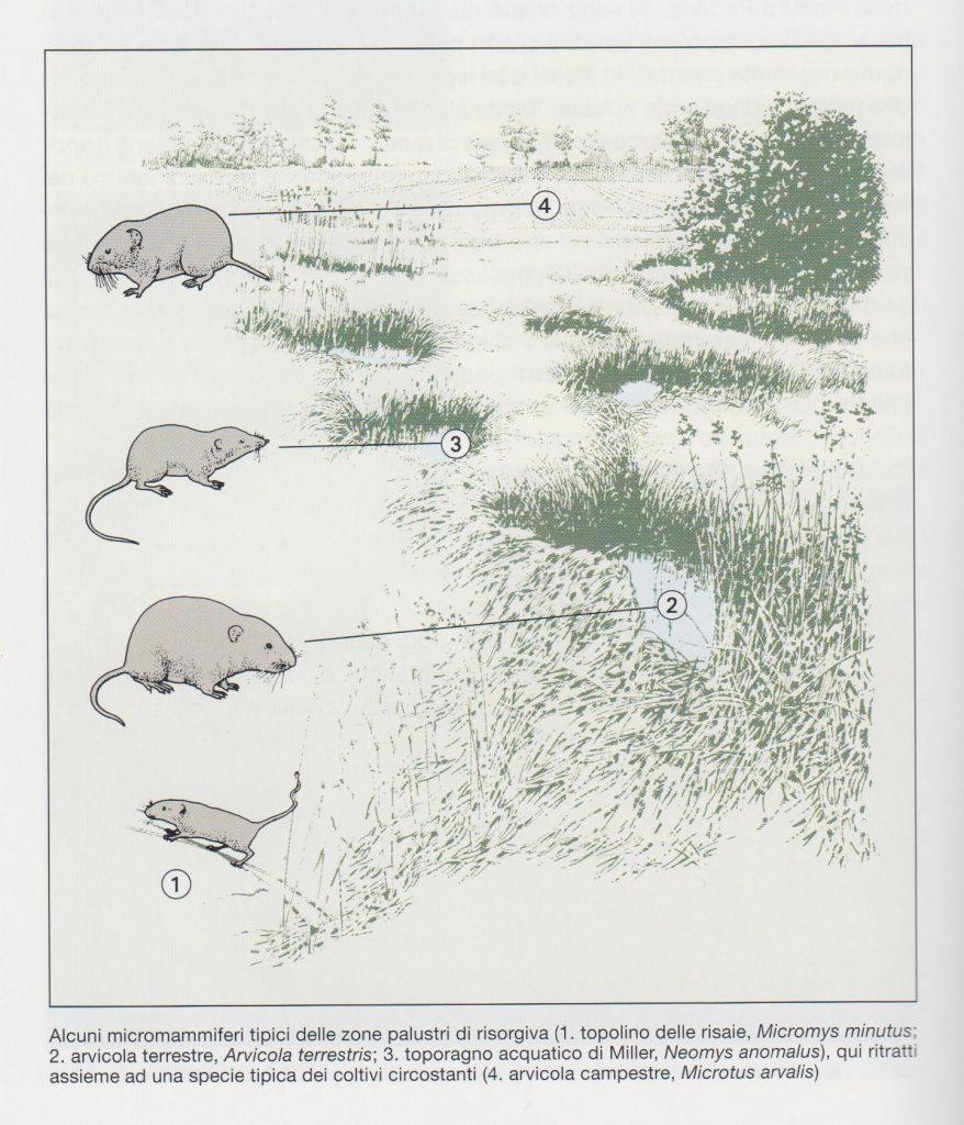 fig. 33 - Alcuni micromammiferi rinvenibili presso le zone umide.