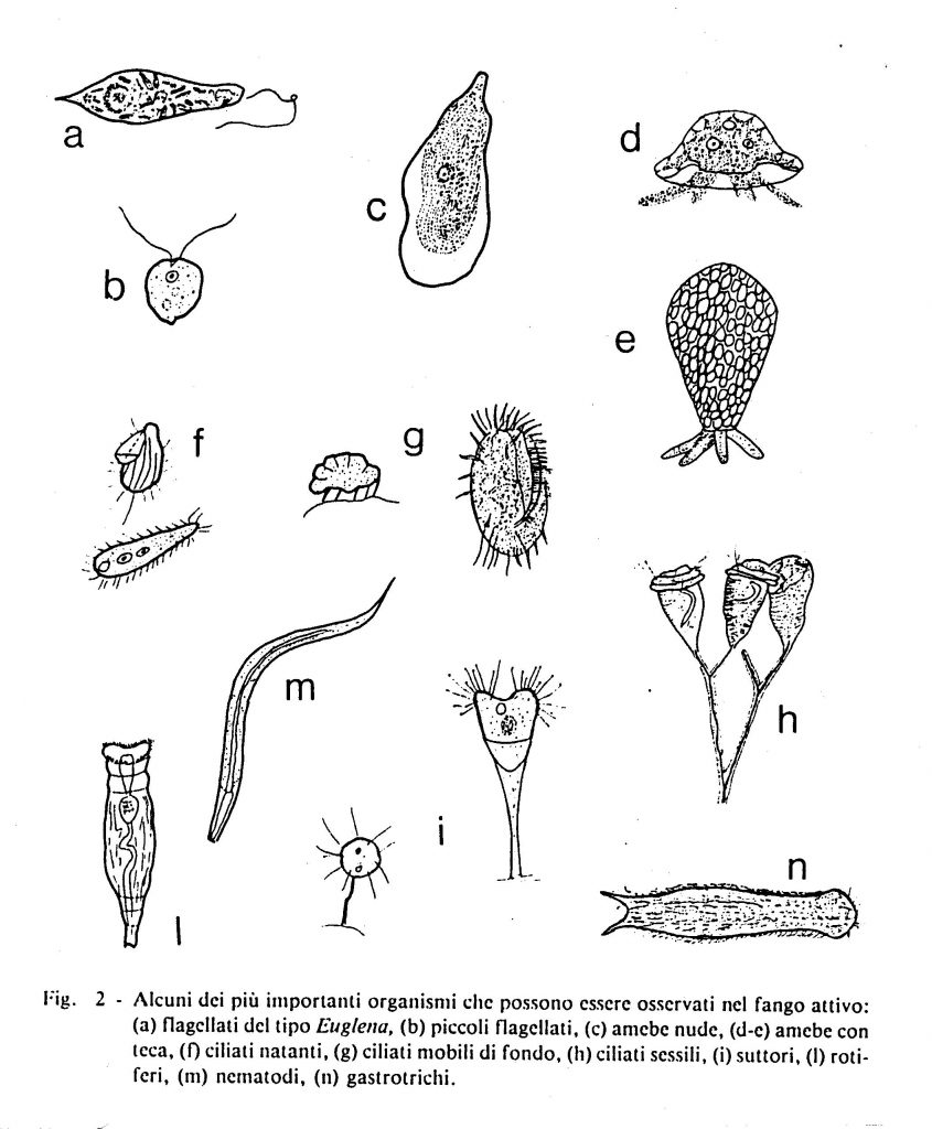 fig. 8 Microorganismi bioriduttori presenti nelle acque dei fiumi e nei fanghi attivi dei depuratori