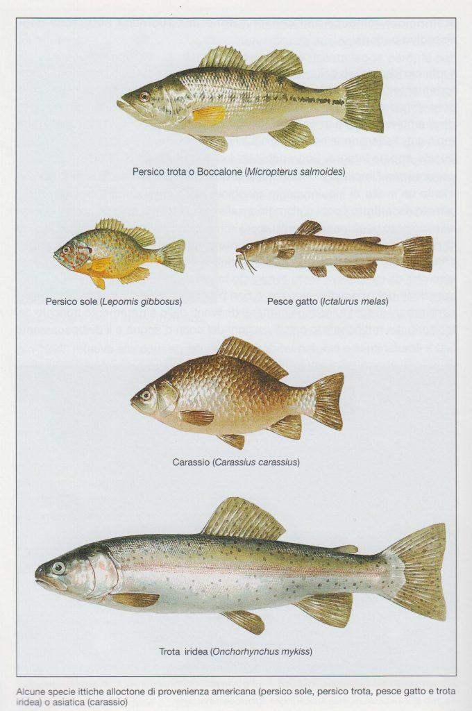 fig. 21 - Alcuni pesci alloctoni (provenienti da altri ecosistemi o continenti) che si sono adattati in molti contesti fluviali del Veneto.